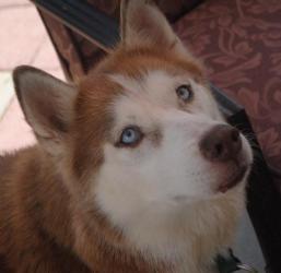 Ceara Is An Adoptable Siberian Husky Dog In Holly Springs Nc