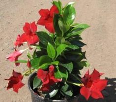 Dipladenia Rio Deep Red Dipladenia Rio Deep Red Rio Deep Red Dipladenia Wholesale Plants Trees To Plant Fast Growing Evergreens