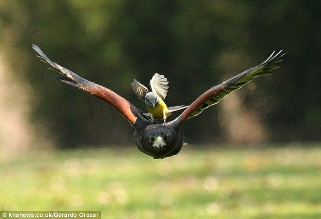 Combat: The Great Kiskadee is seen perched upon the #birdofprey's back in this shot