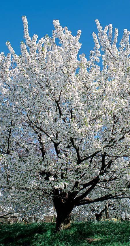 5ft Umineko Cherry Blossom Tree Bare Root 29 99 Cherry Trees Garden Blossom Trees Cherry Tree