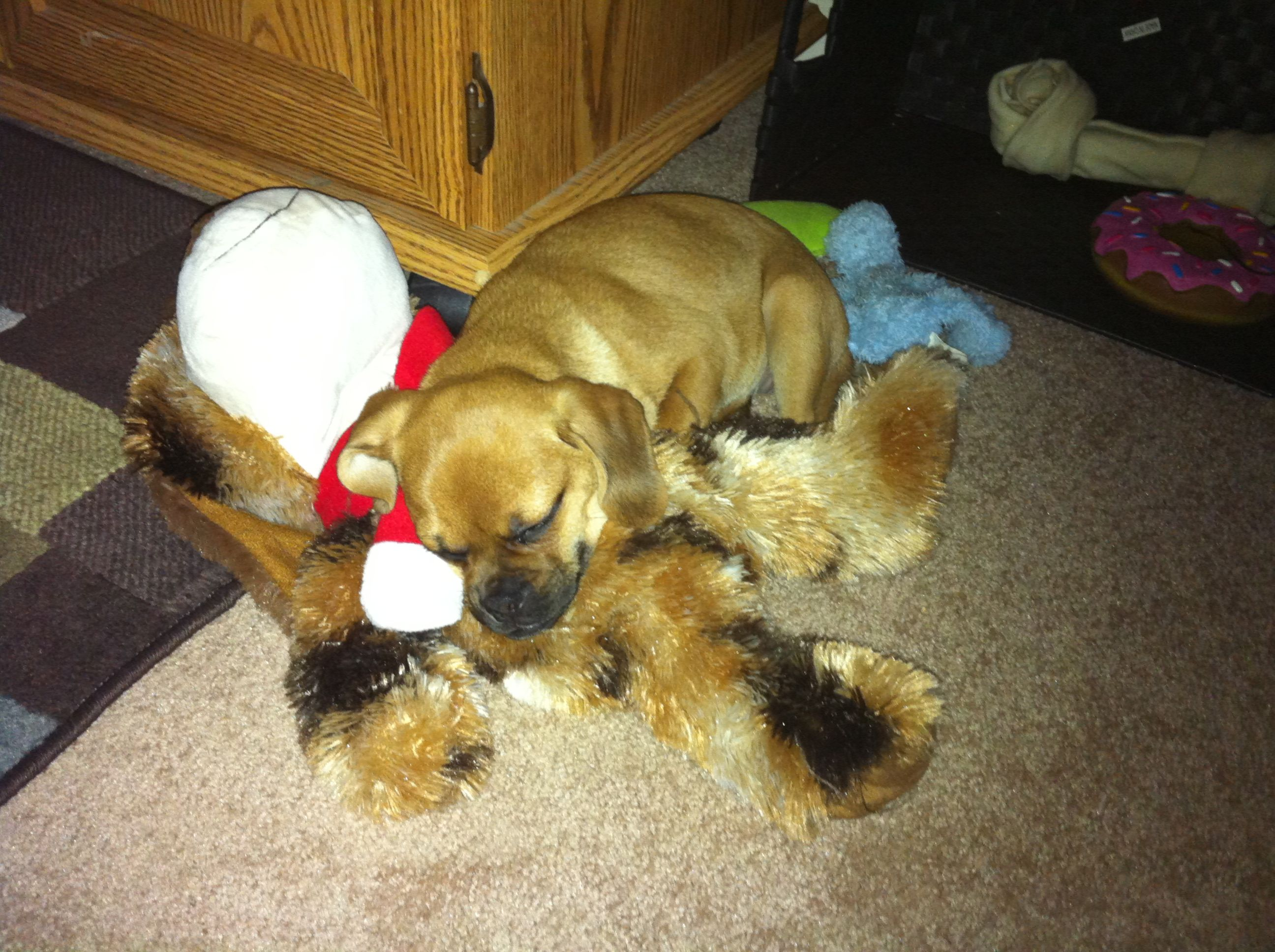 Sleeping on her toys :) #puggle