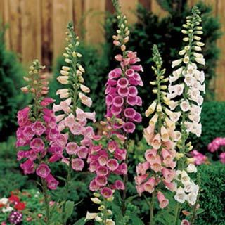 Digitalis Purpurea Giant Shirley