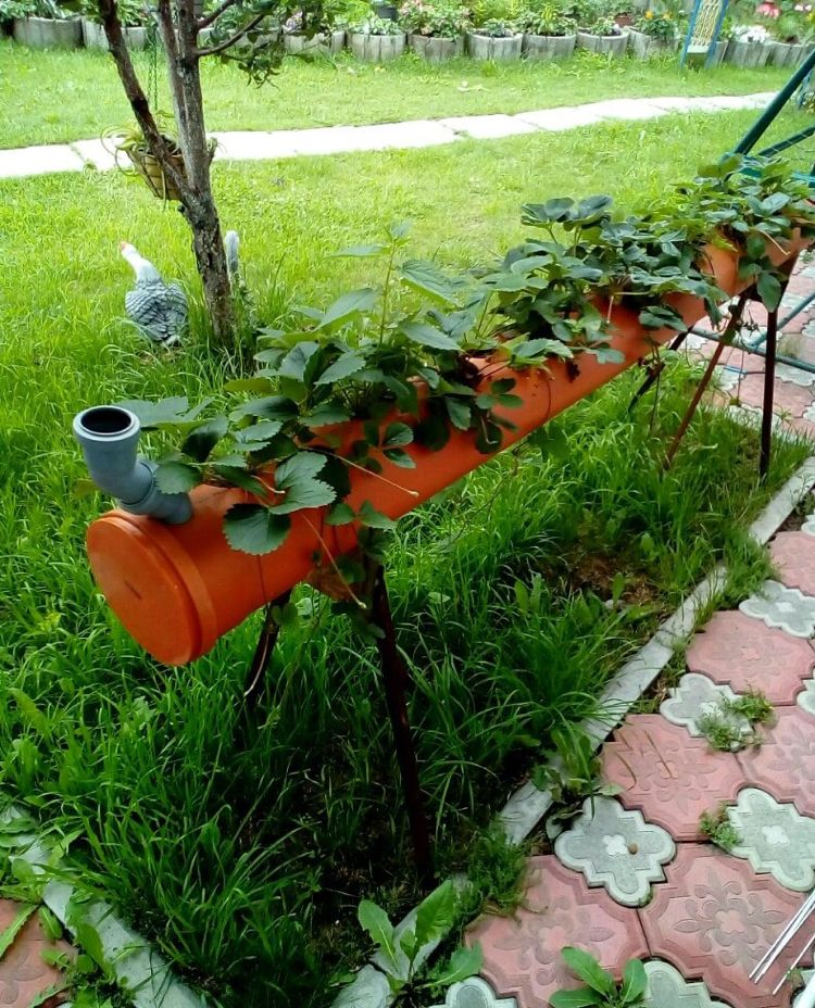 Erdbeeren Im Rohr Pflanzen Bauanleitung Fur Ein Erdbeerrohr Pflanzen Erdbeeren Garten Erdbeeren Pflanzen