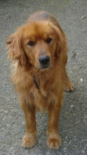 Adopt Scruffy On Dogs Golden Retriever Retriever Puppy Golden
