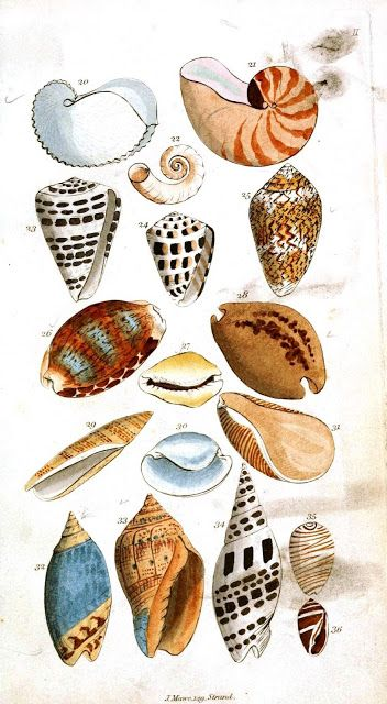 The Rusty Hodgepodge: Beautiful Free Vintage Shell Illustrations