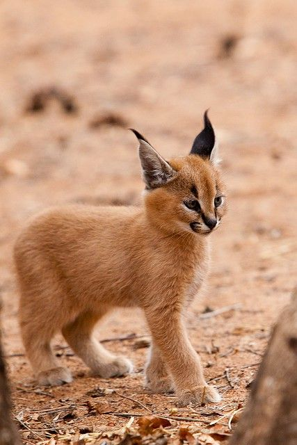"""Caracal Kitten- The caracal is a fiercely territorial medium-sized cat ranging over Western Asia, South Asia and Africa. The word caracal comes from the Turkish word """"karakulak"""", meaning """"black ear""""."""
