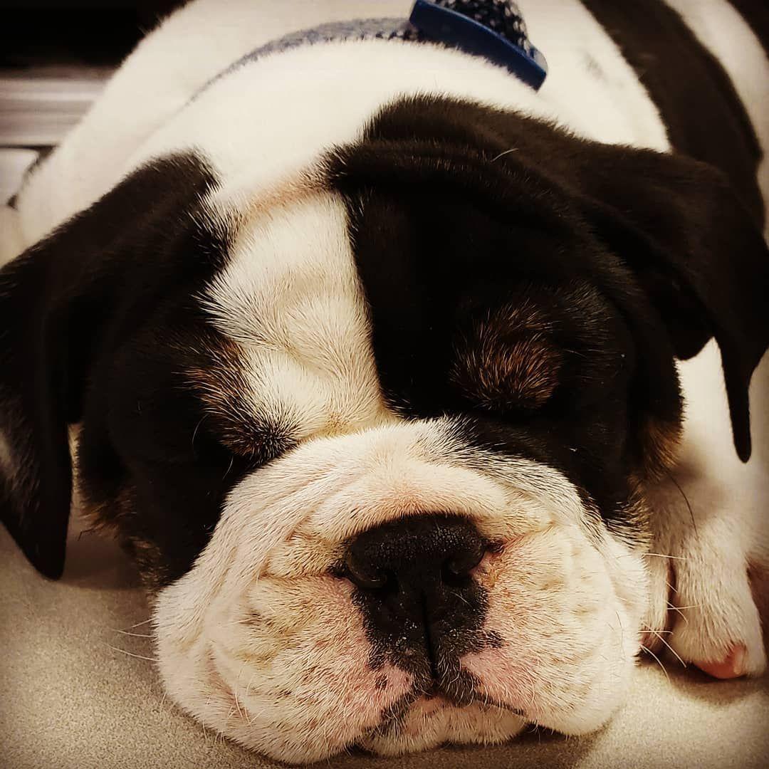 Bulldog Puppy Dogdays Dogsatwork Bestworkdays Sleepypuppy