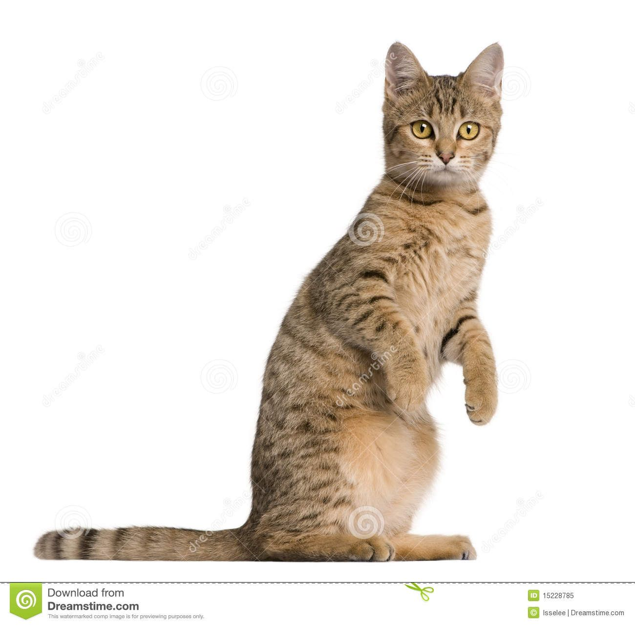 Cat Side View Standing Google Search Bengal Cat 7 Month Olds Cats