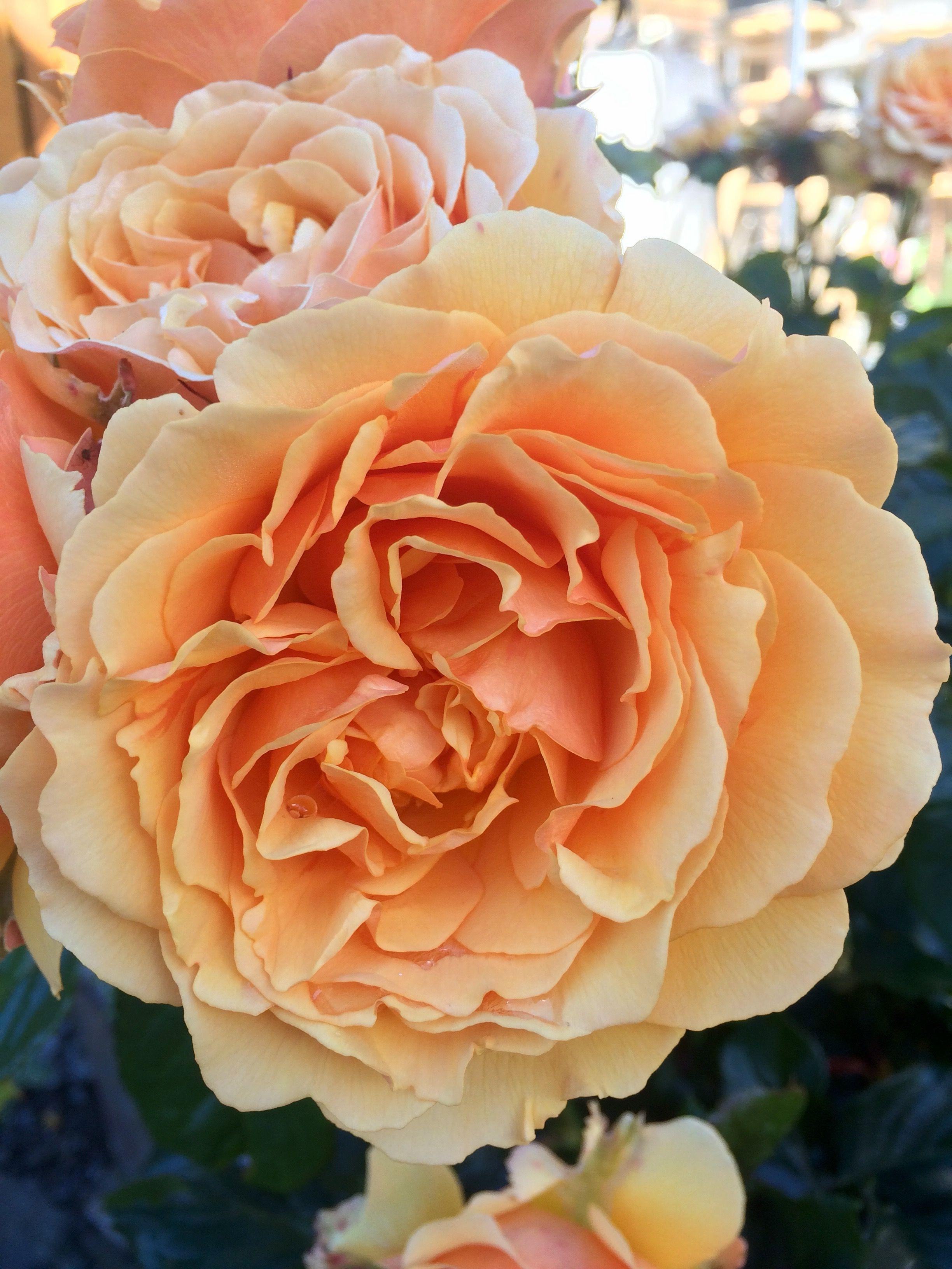 Розы в саду 😊🌹