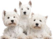 West Highland White Terrier 1 Jpg 221 162 Westies West Highland White Terrier Westie Terrier