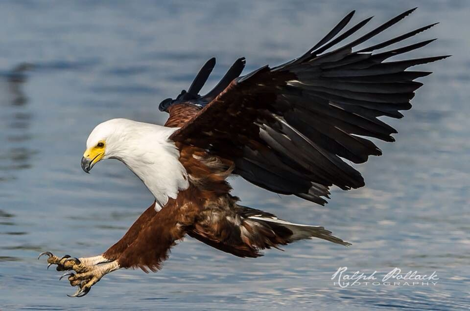 African Fish Eagle South African Birds Pet Birds Bald Eagle