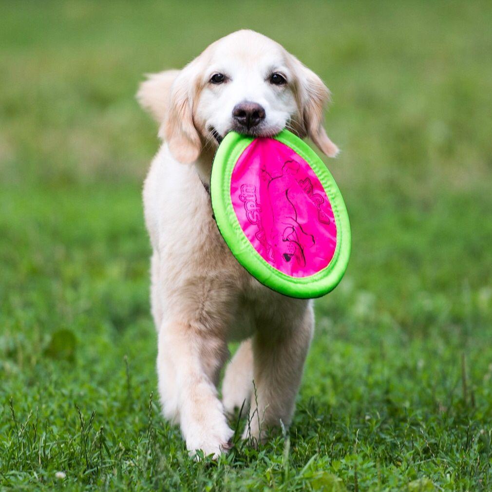 thedogist Dogs golden retriever, Golden puppies, Golden