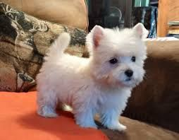 Image Result For Westie Puppies Westie Puppies Westie Dogs
