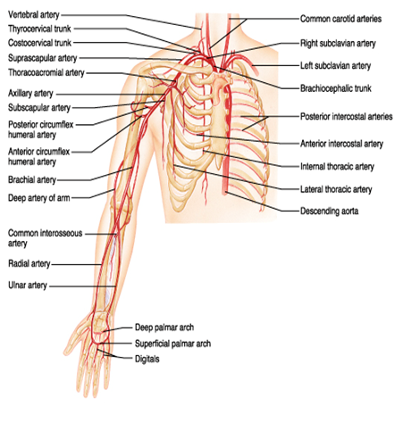 Upper Extremity Anatomy Arteries Veins Muscles Pa C