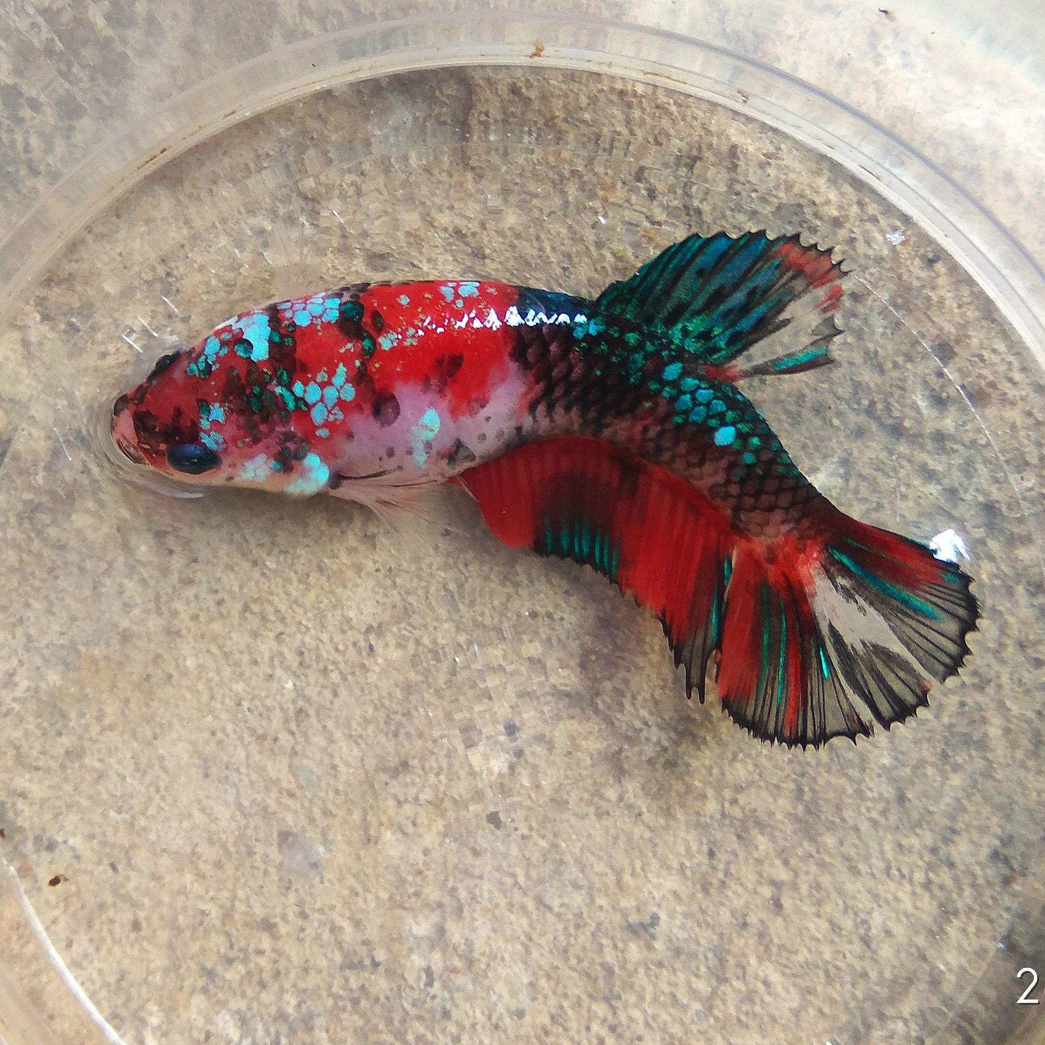 For Sale Female Betta Koi Galaxy Wa 082157042777 Koi Betta Pet Fish Betta Aquarium