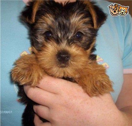 Adorable Yorkie Puppy Yorkie Puppy Yorkie Yorkshire Terrier