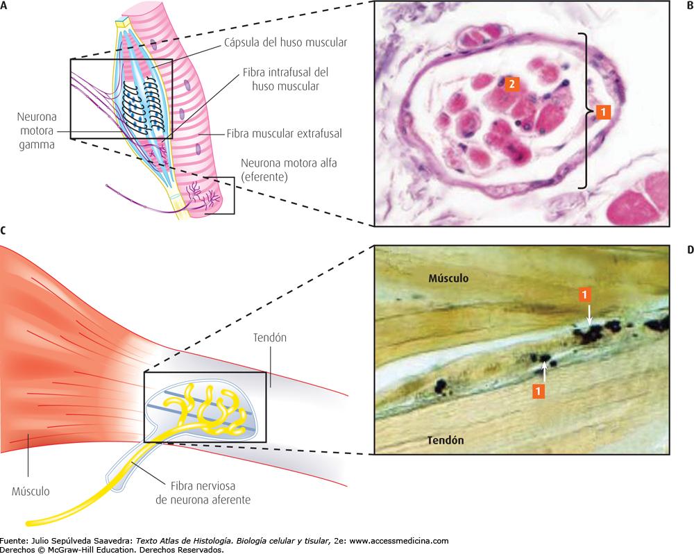Tejido orgánico vegetal o animal. En biología, célula vegetal ...