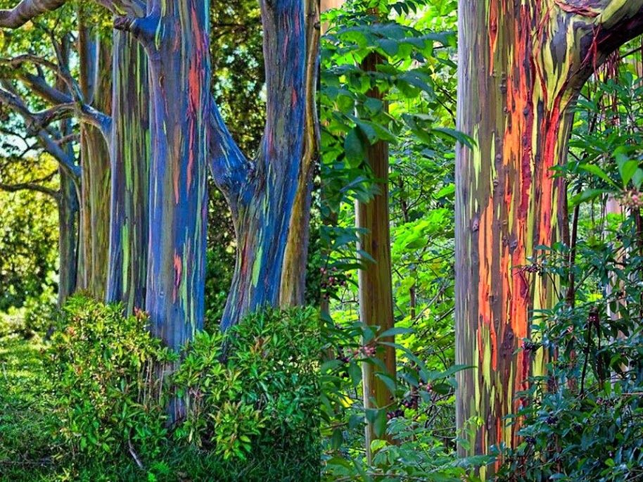 Rainbow Eucalyptus Trees Hawaii Rainbow Eucalyptus Tree Rainbow Eucalyptus Eucalyptus Tree