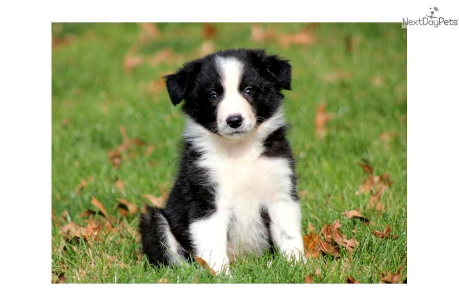 Youll love this Male Border Collie puppy looking for a new home. | Collie puppies, Border