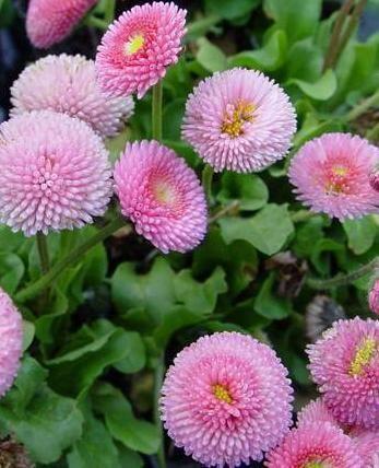 Stokrotka Stokrotki Bellis Byliny Bellis Perennis Beautiful Flowers Spring Scenery