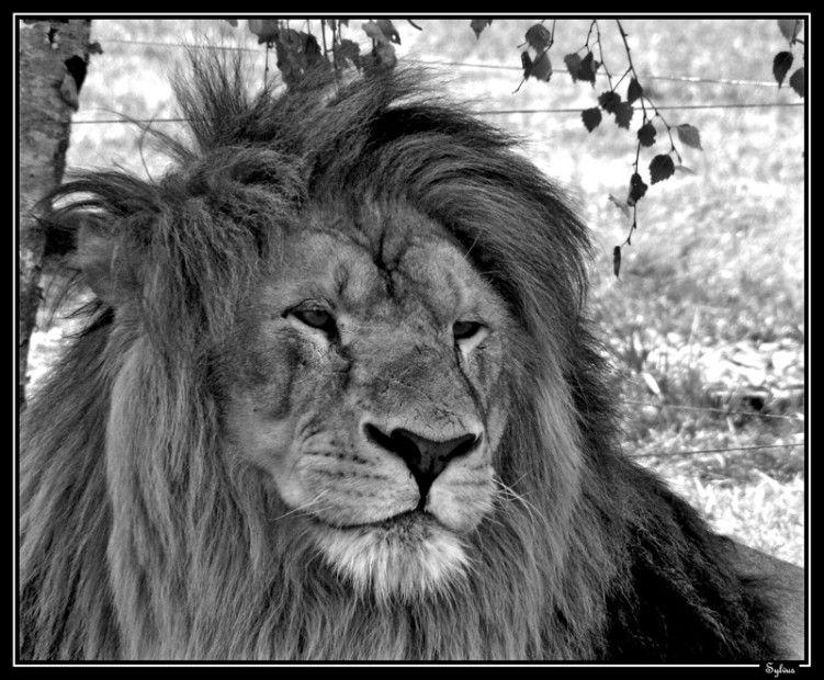 Fonds D Ecran Animaux Fonds D Ecran Felins Lions Le Roi De La Jungle Par Sylvus Hebus Com Animaux Petit Felin Felin