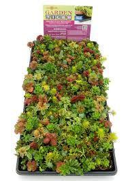 Sedum Tiles Available At Lowe S Drought Tolerant Plants Growing Herbs Celery Herb Garden