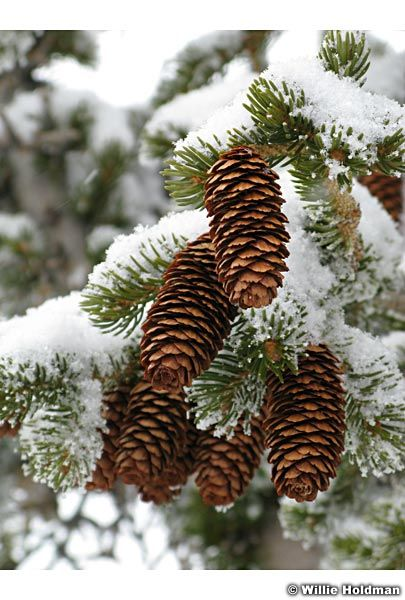Winter pine cones google search starbucks pinterest for Pinecone wallpaper