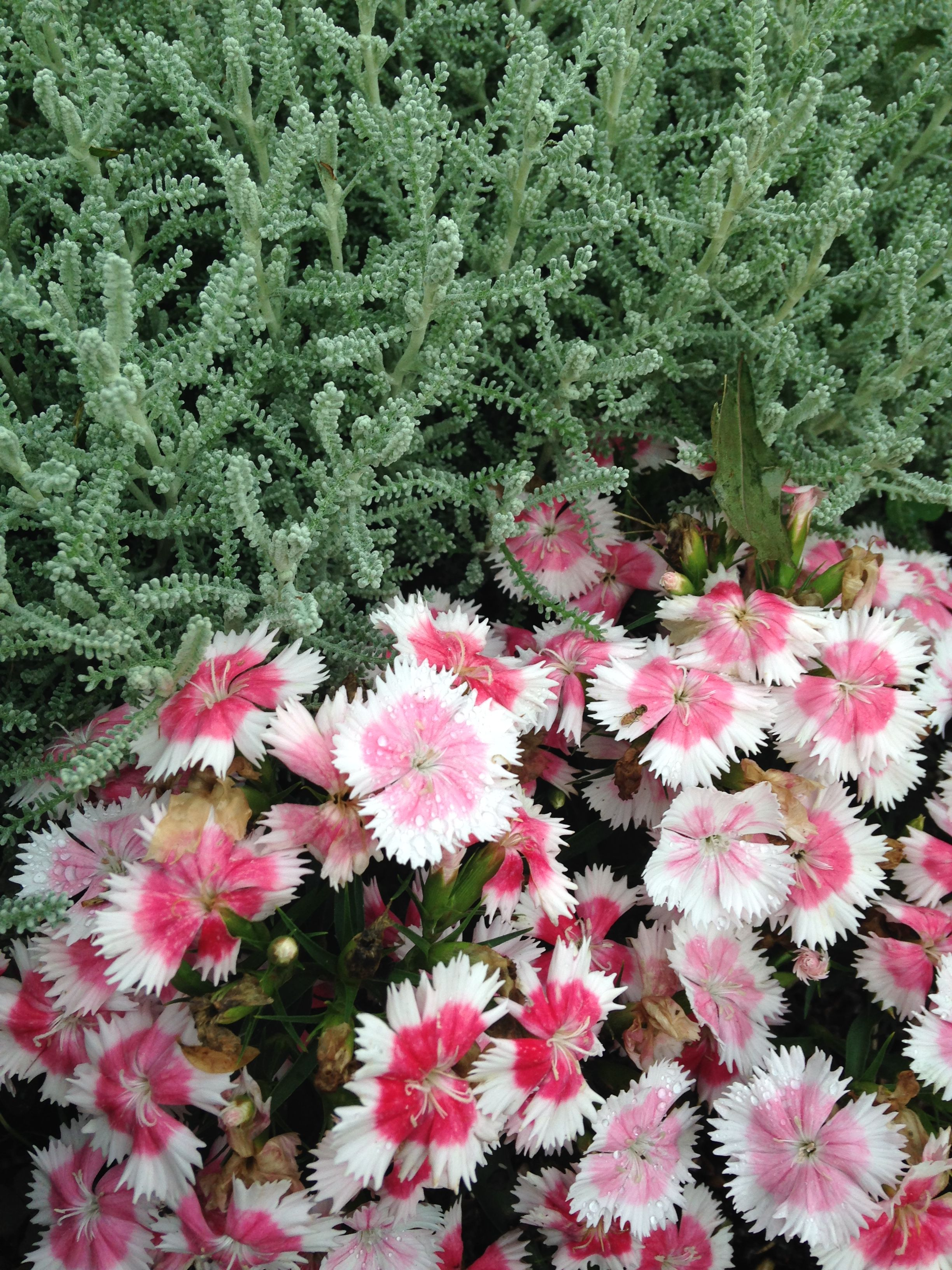 The Pink And White Flowers Are Called Dianthus And The Name Of The