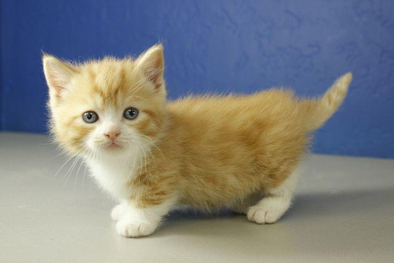 Red Bicolor Tabby Standard Munchkin Kitten Munchkin Kitten Munchkin Kittens For Sale Munchkin Cat