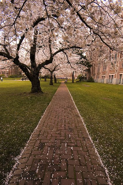 Spring Cherry Blossom At Uw By Dharshan R Via Flickr Seattle Photography Cherry Blossom Seattle Photos