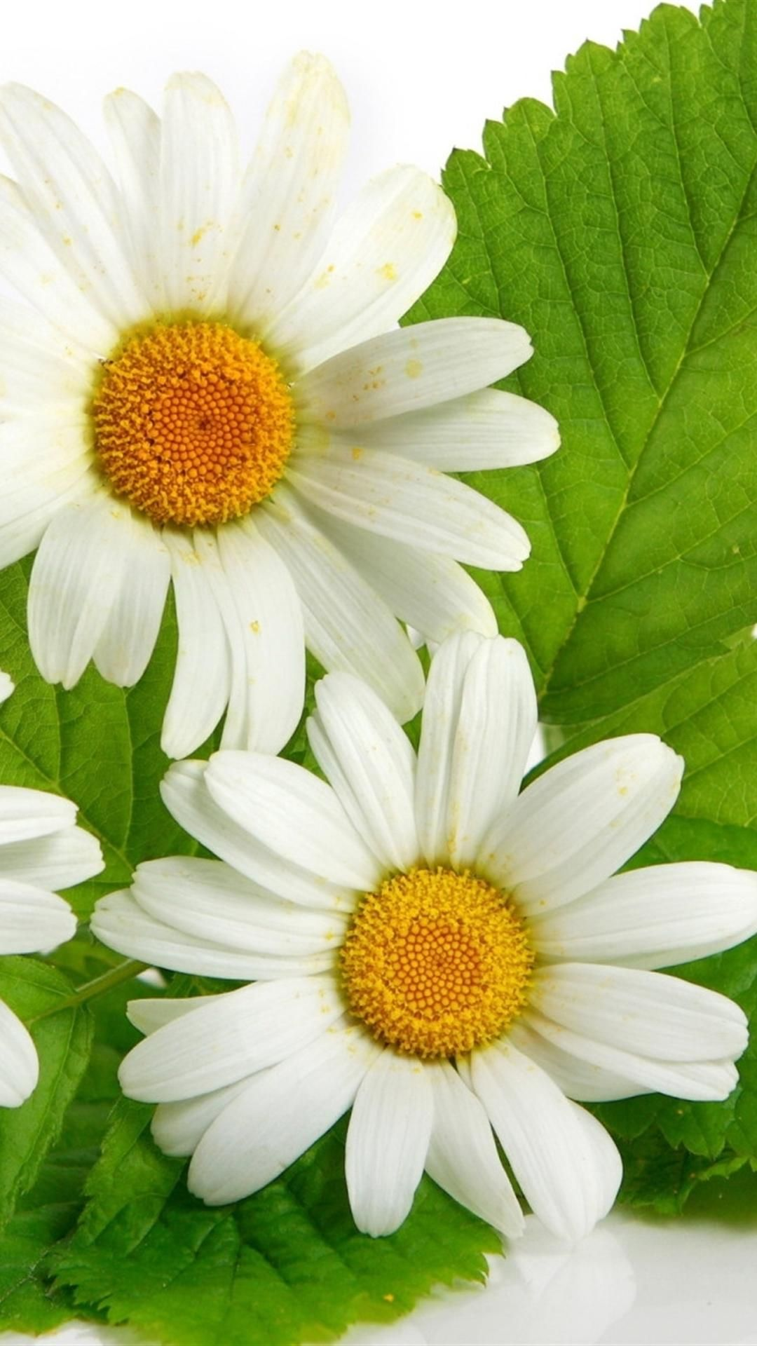 Daisies Flowers Leaves Song Daisy Pinterest Leaves Flowers