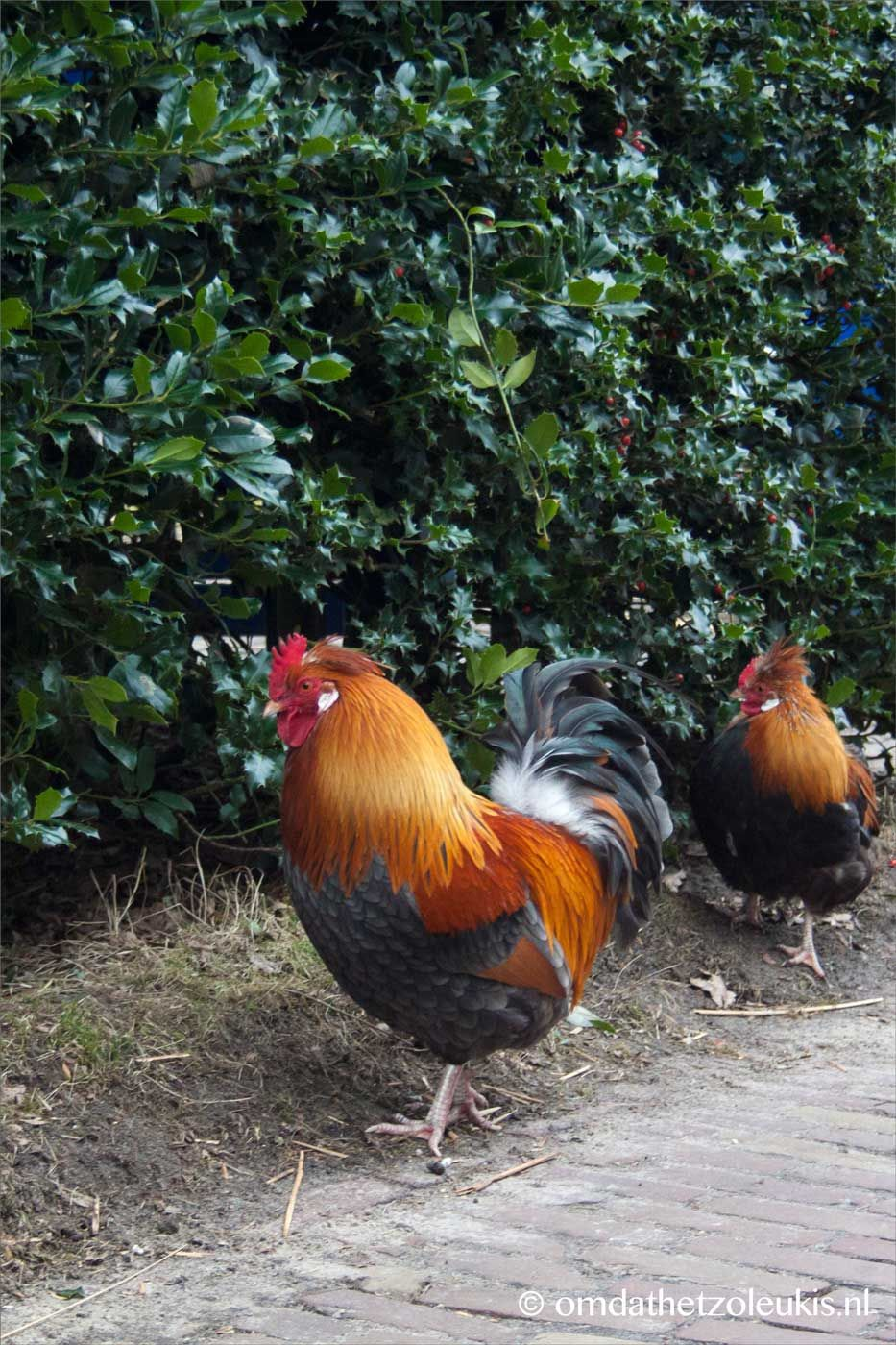 De Haan Staphorst.Haan Staphorst Museumsteeg Dieren Zijn Leuk Kippen Dieren