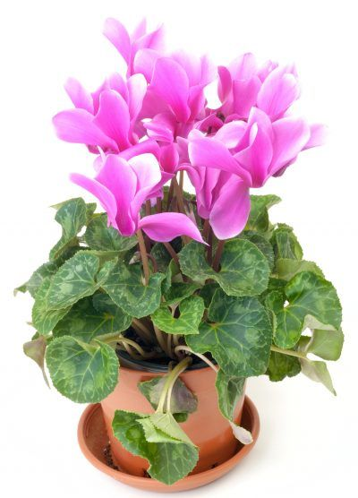 Cyclamen Plant Care Growing Tips Cutting Planting: Cyclamen Care After Flowering: How To Treat Cyclamen After