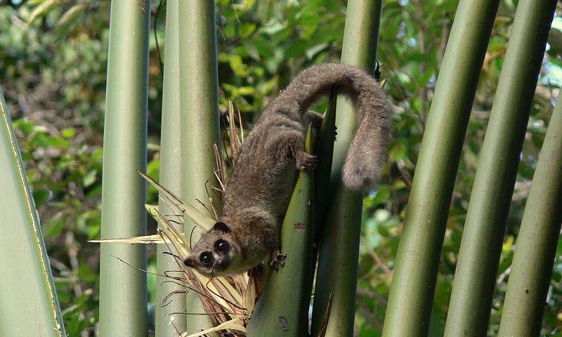 furry eared dwarf lemur cheirogaleus crossleyi also known as crossleys dwarf lemur wildlife of madagascar pinterest lemur and wildlife