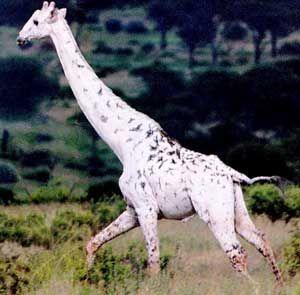 giraffe - Albino animals