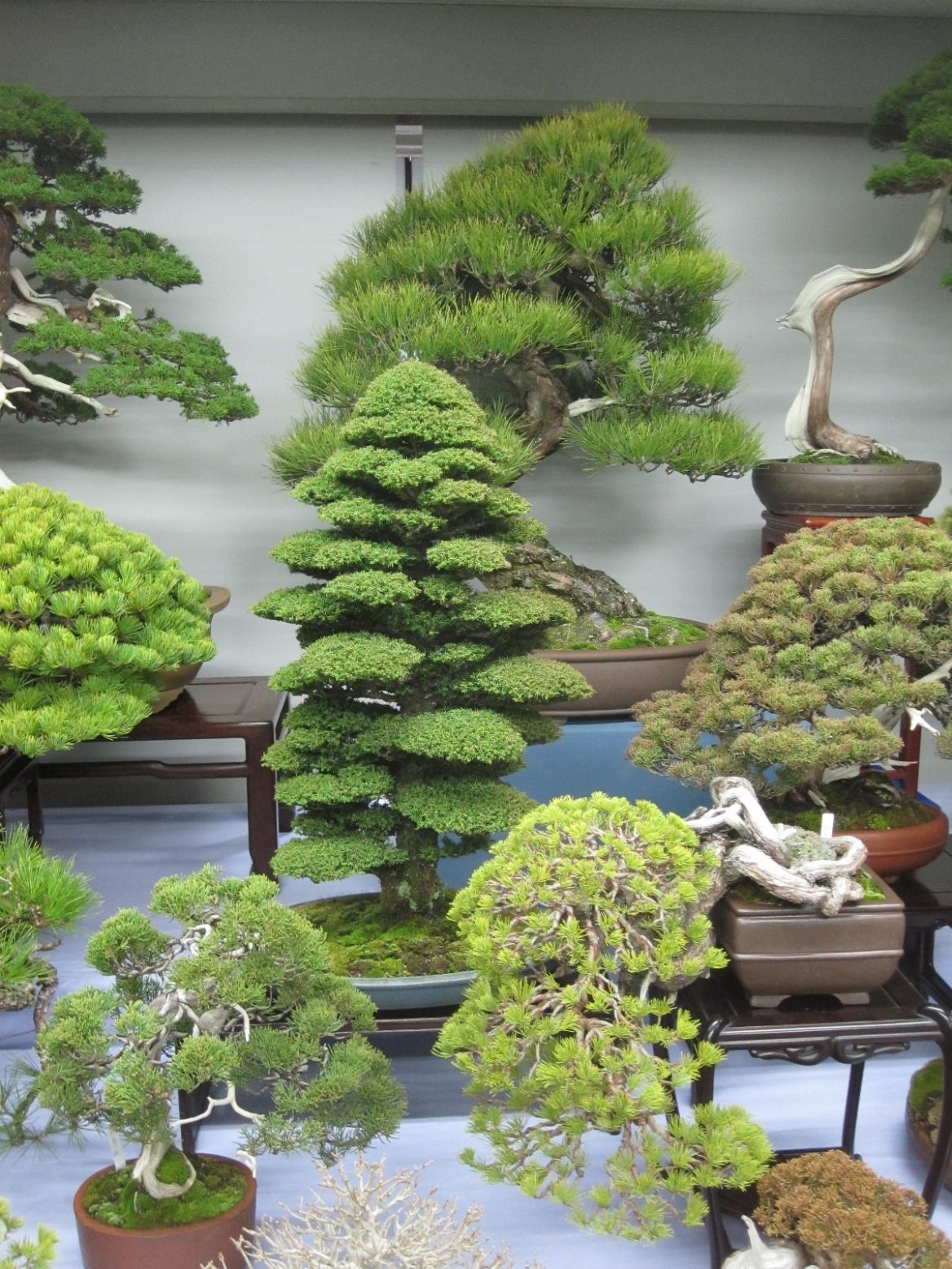 We Be Green Clubbin in 2020 Bonsai styles, Bonsai garden