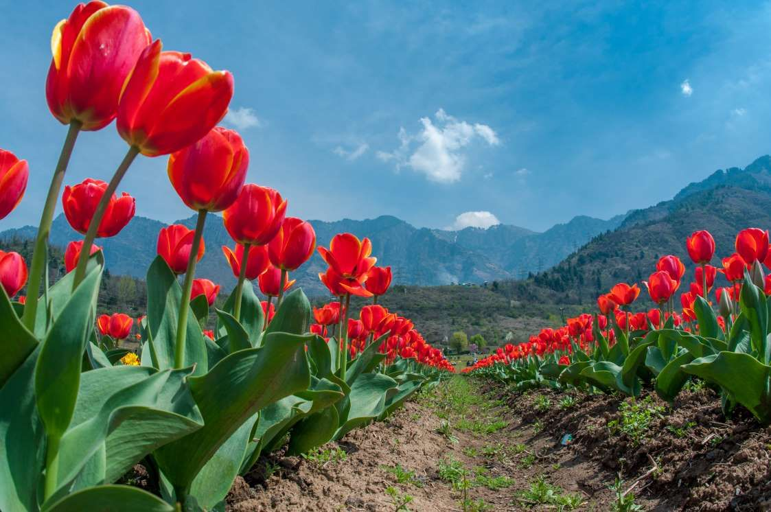 Siraj Bagh Kashmir India Yawar Nazirgetty Images Gardens