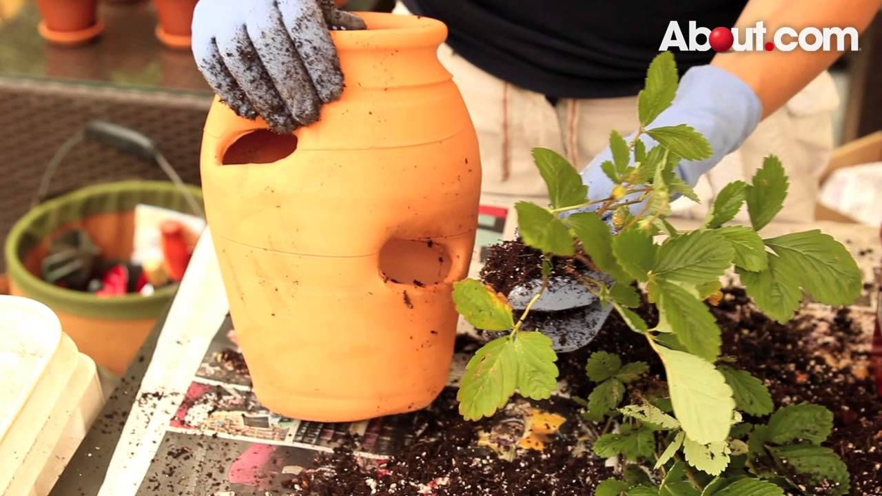 How to Grow Strawberries in Garden Pots