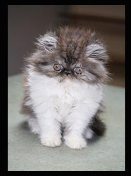 Home Persian Kittens For Sale Persian Kittens Kittens