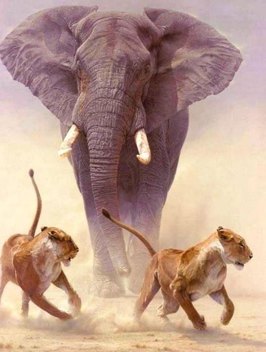 f90a9fcd9 Elephant charging lions photo