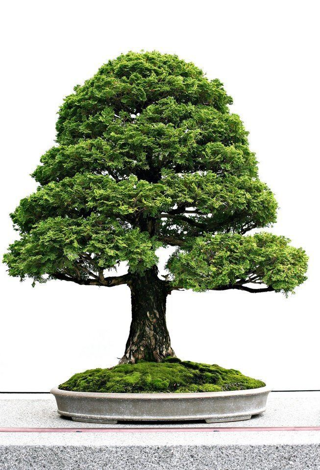 A nice little tree - bonsai.