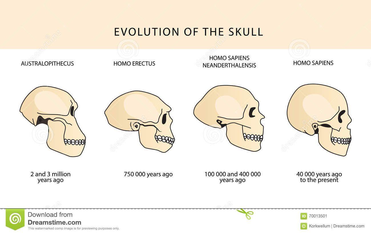 Resultado de imagen para craneos evolucion | Patricio Mella H ...