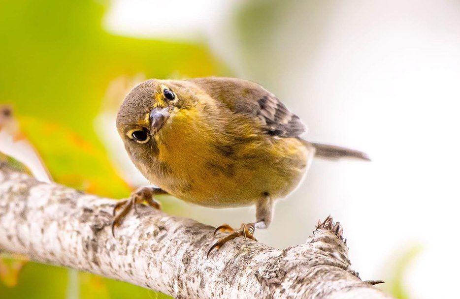 Pine Warbler Taken In Long Island N Y Usa Animals Beautiful Birds Colorful Birds