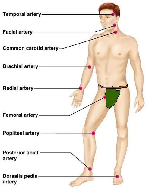 The Cardiovascular System: Blood Vessels | anatomy | Pinterest