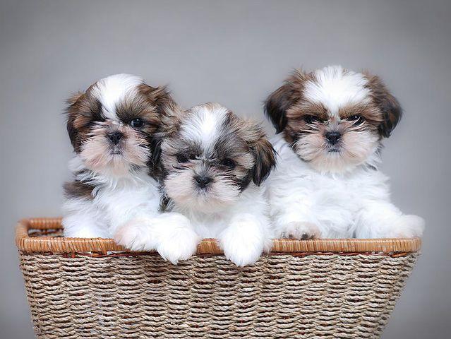 Which Puppy Matches You Best Shih Tzu Puppy Shih Tzu Dog Shih Tzu