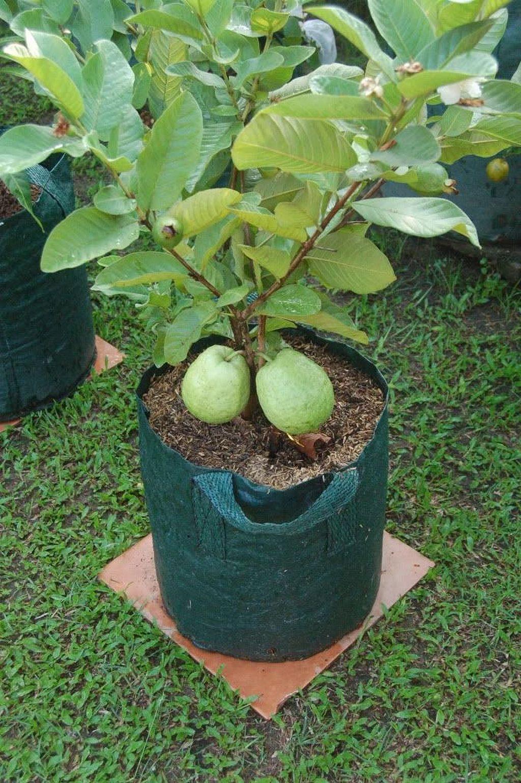 Nice 30 Fruit Tree Container Gardening Ideas Https Gardenmagz Com 30 Fruit Tree Container Gardening Ideas Fruit Garden Dwarf Fruit Trees Growing Fruit Trees