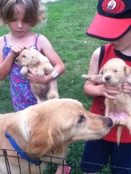 Golden Retriever Puppy For Sale In Greenwood De Adn 31354 On
