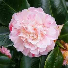 Camellia Japonica Optima U K 1850 With Images Camellia Ground Cover Plants Flowers