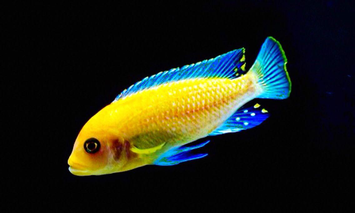 Red zebra red morph cichlid scientific name for African cichlid fish