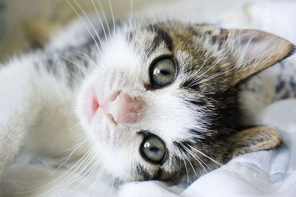 A Kitten Is The Most Irresistible Comedian In The World Its Wide Open Eyes Gleam With Wonder A Cute Little Kittens Kittens And Puppies Funny Animal Pictures